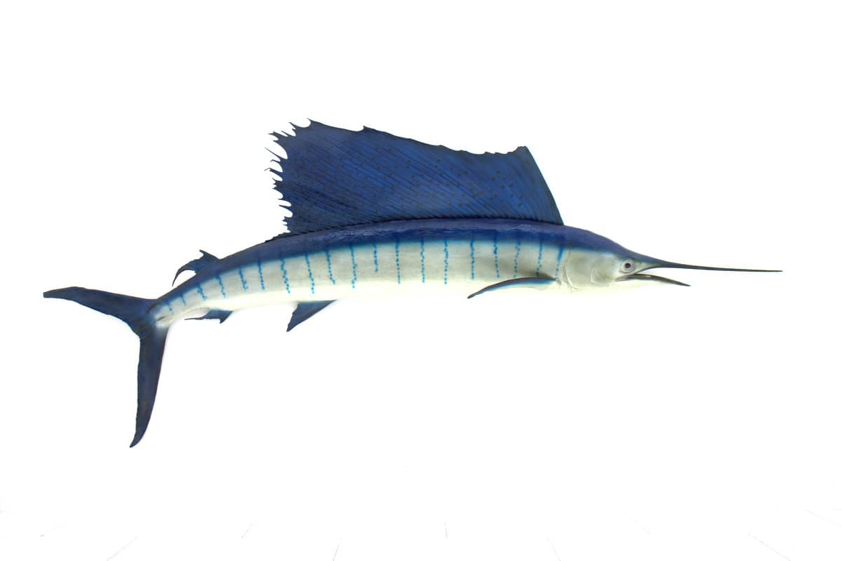 Original vintage Sailfish, 1970s