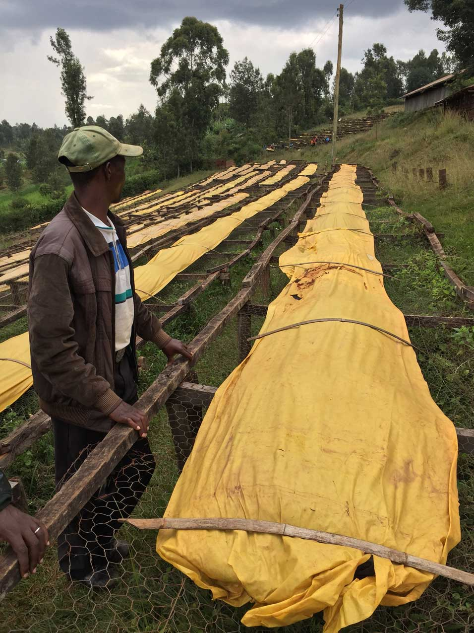 drying coffee on african beds