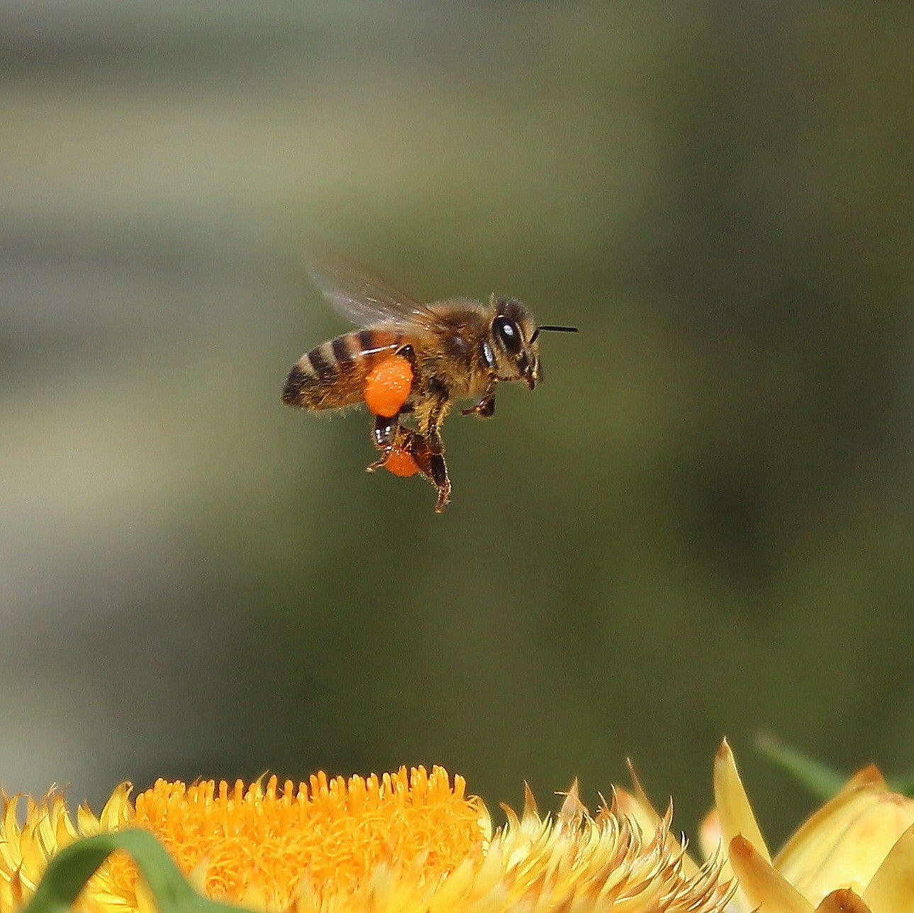Honey bee flying