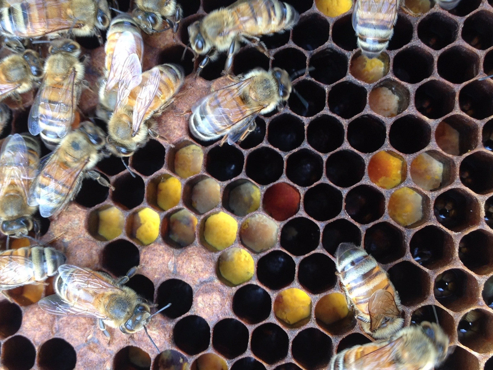 Honeybees in local beehives