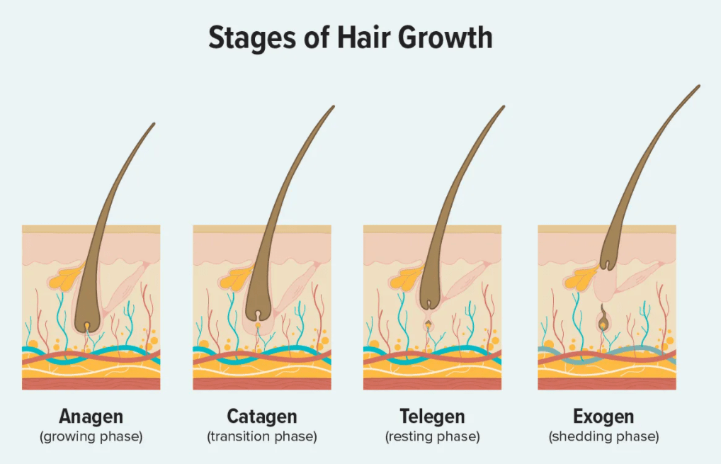 The 4 stages of hair growth