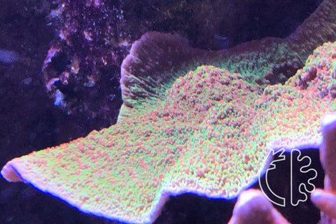 Corals Direct Red and Green Montipora Colony