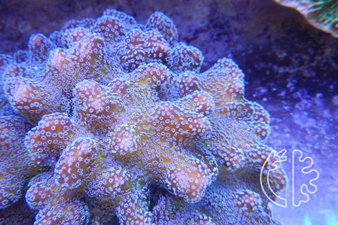 Corals Direct Bug Out Stylophora (JF) Colony