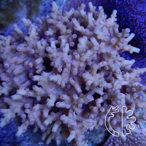 Corals Direct Exotic Pink Branching Cyphastrea Colony