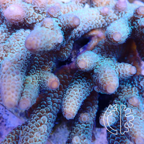 Corals Direct Ghostly Colony