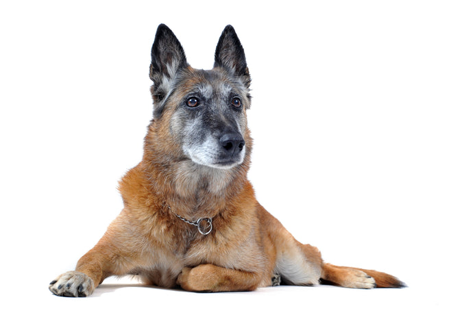 Dog arthritis signs and alternative solutions