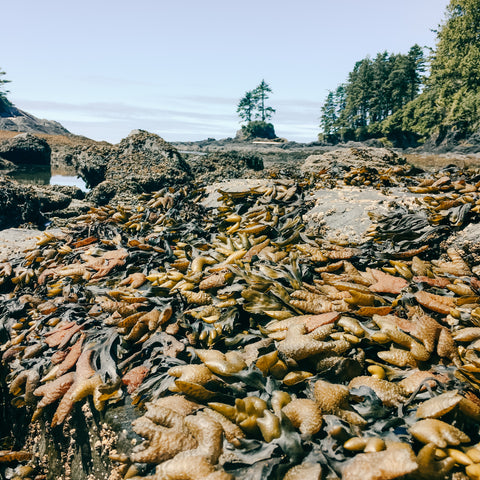 bladderwrack a low tide in sun with trees in background