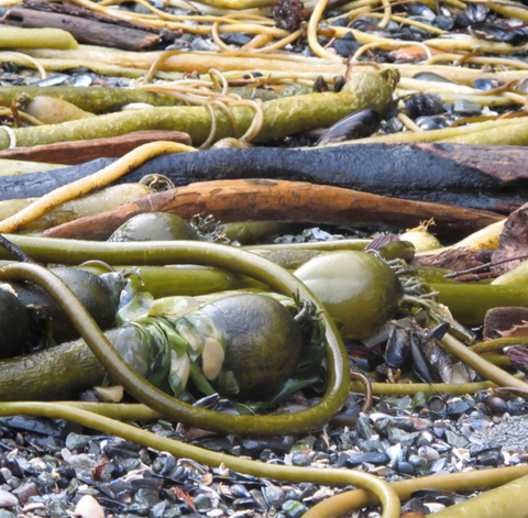 A tangle of bull kelp picked from shore getting used for fertilizer