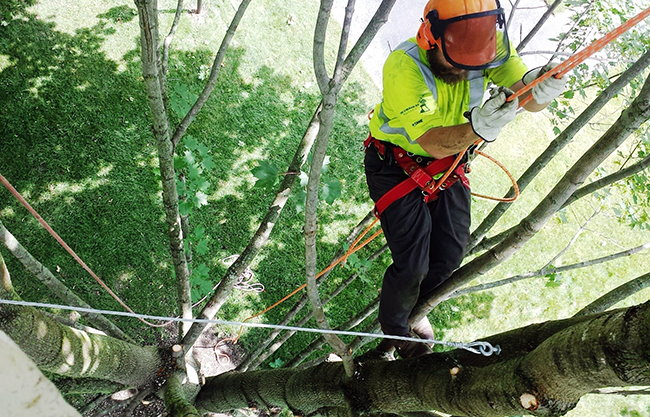 Worker trimming tree