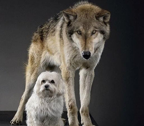 Our domesticated dogs today are almost unrecognisable from their wolf ancestors