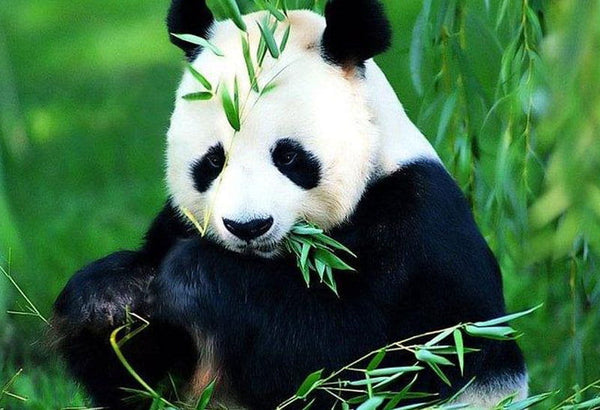 A panda, from the order Carnivora but actually a herbivore with a diet entirely composed of plants