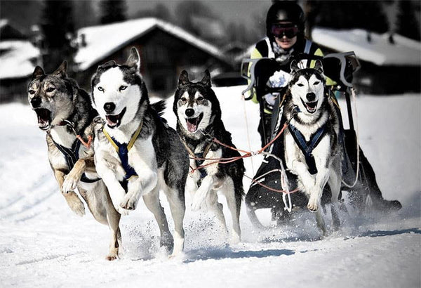 Sprint-racing huskies have been shown to do well on a plant-based diet