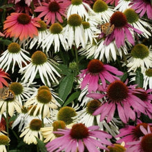Lade das Bild in den Galerie-Viewer, Echinacea - Breeder's Choice