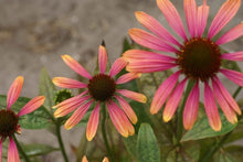 Lade das Bild in den Galerie-Viewer, Echinacea Breeder's Choice - Zaadpakket