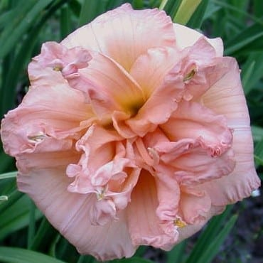<transcy>Hemerocallis 'Double Pink Wonder' - 3 do 10 szt</transcy>