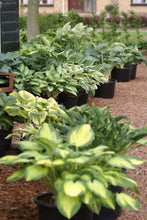 Lade das Bild in den Galerie-Viewer, Hosta 'Grower's Choice' - 10 stuks