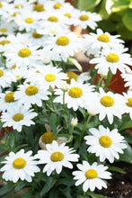 Afbeelding in Gallery-weergave laden, Leucanthemum - Breeder's Choice