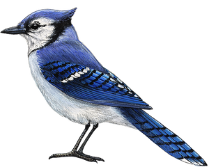 Blue Jay Wall Decal (9 in. x 7.5 in.)