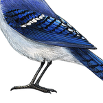 Load image into Gallery viewer, Blue Jay Wall Decal (9 in. x 7.5 in.)