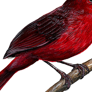 closeup of cardinal wall decal