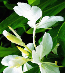 White Ginger Perfume
