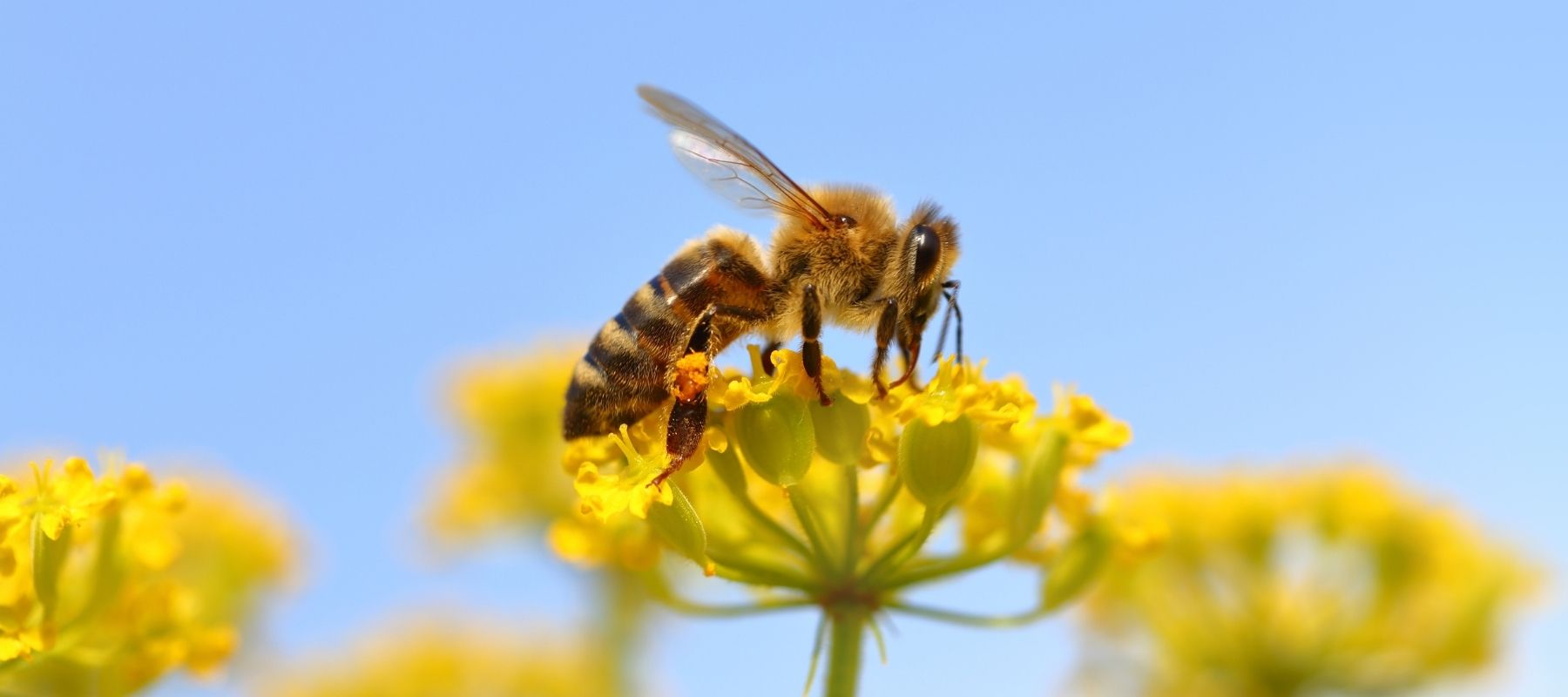 Honey Bee Pollinating a Yellow Flower