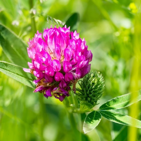 Blossoming Clover Flower in the Pacific Northwest
