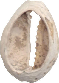 VIKING COWRIE SHELL BOOTY, C.800-1000 AD