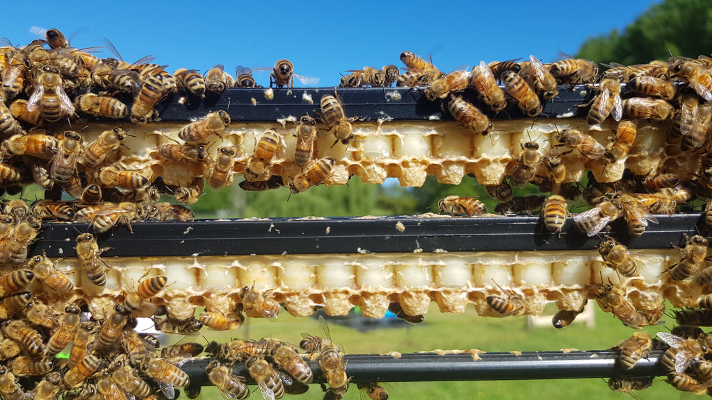 Good Royal Jelly frame with honey bees ready to be harvested