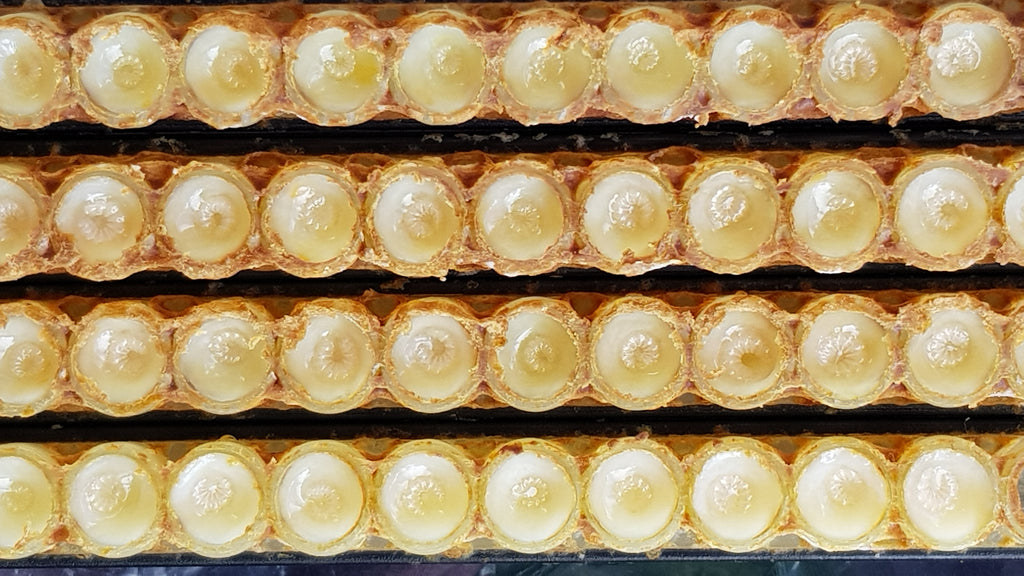 Queen Cup filled with fresh Royal Jelly and larva on top