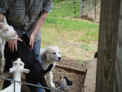 Pie with Greta the Great Pyrenees guard puppy at the kids barn on the farm