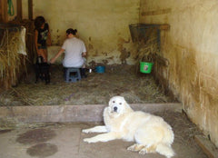 Pie and another intern in the birthing stall with Oscar the Great Pyrenees guard dog