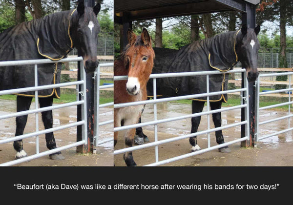 EQU Streamz feedback from horseworld trust on beaufort the horse who had intermittent lameness issues and stiffness and swelling before trying his equ streamz advanced magnetic horse bands