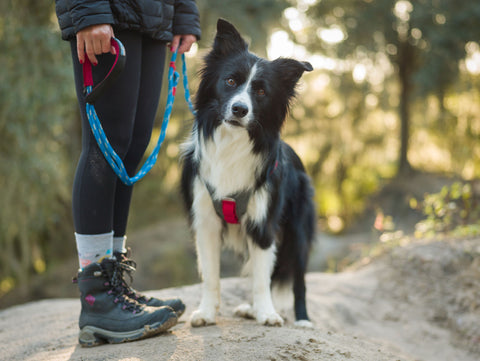 Draco the border collie looks at the camera while wearing the Journey Air Harness. Kristina is holding the Ascender Leash.