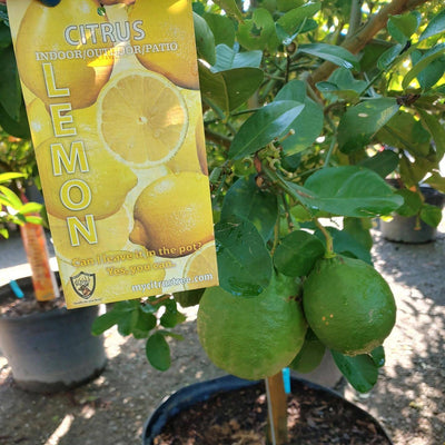CITRUS NOW IN STOCK | Taylor's Quality Landscape Supply & Nursery | Gardening Blog