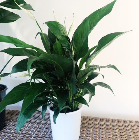 PEACE LILY 150MM