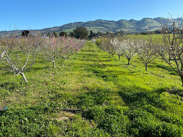 The whole orchard is waking up, bit by bit, tree by tree