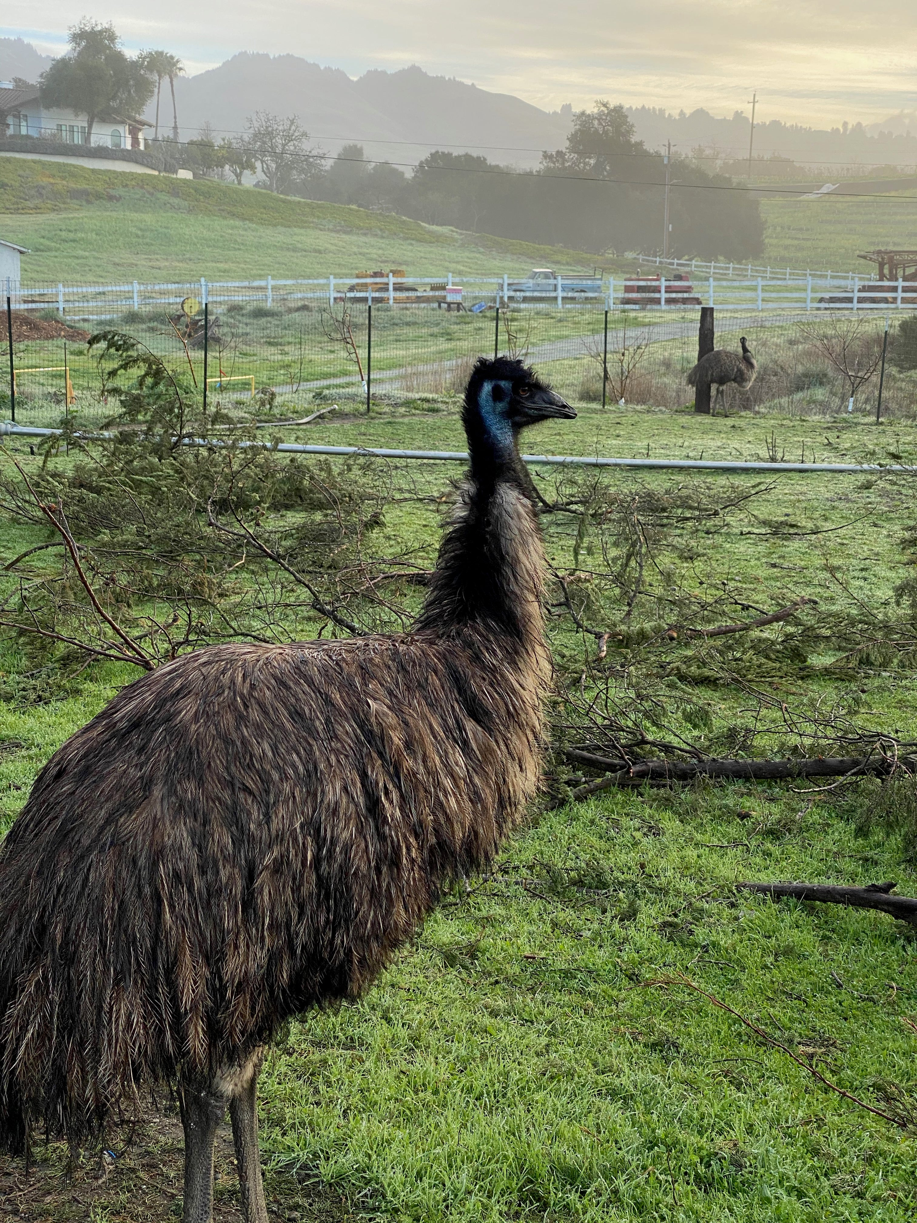 Ricky and Lucy, the emus