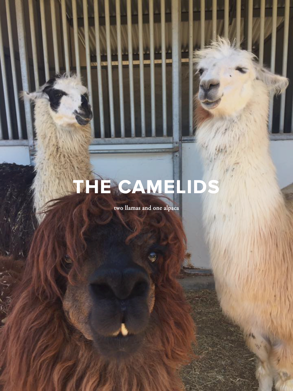 The camelids: two llamas and one alpaca