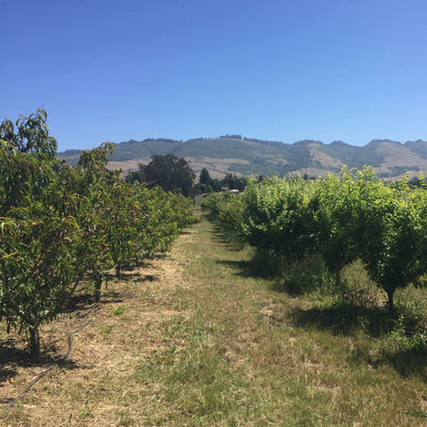5 years later - maturing and fruit producing trees in 2019