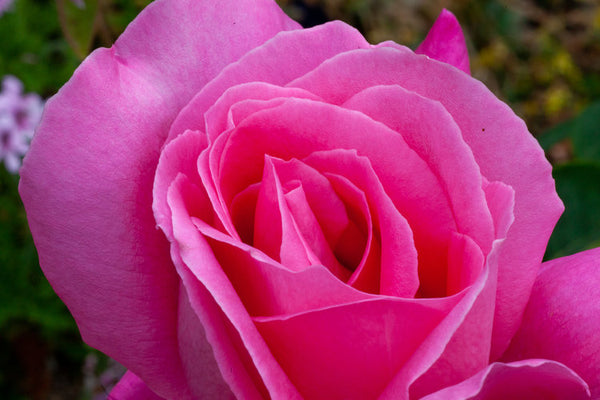 Pink Frost rose