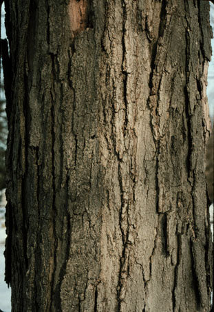 Sugar Maple Tree Bark