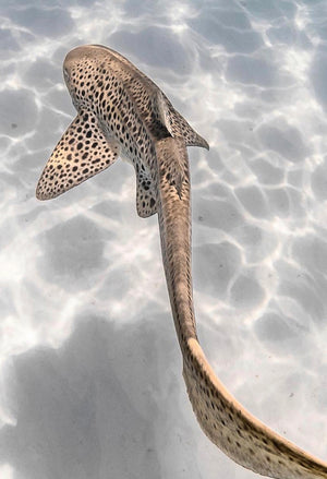 DiveSkins/SurfSkins - Endangered Leopard Shark - Zippered