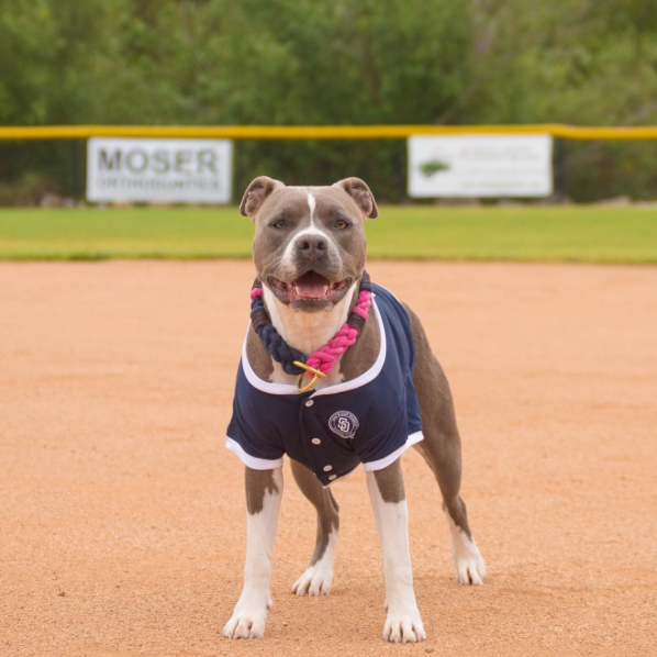 fancy pitbull baseball game