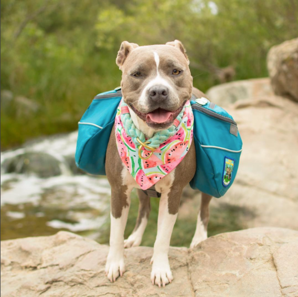 fancy pitbull hiking