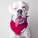 Lasso's orginila model Kyra, the white boxer with the longest tongue in the history of humankind.