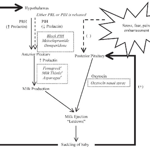 The Physiology of Lactation