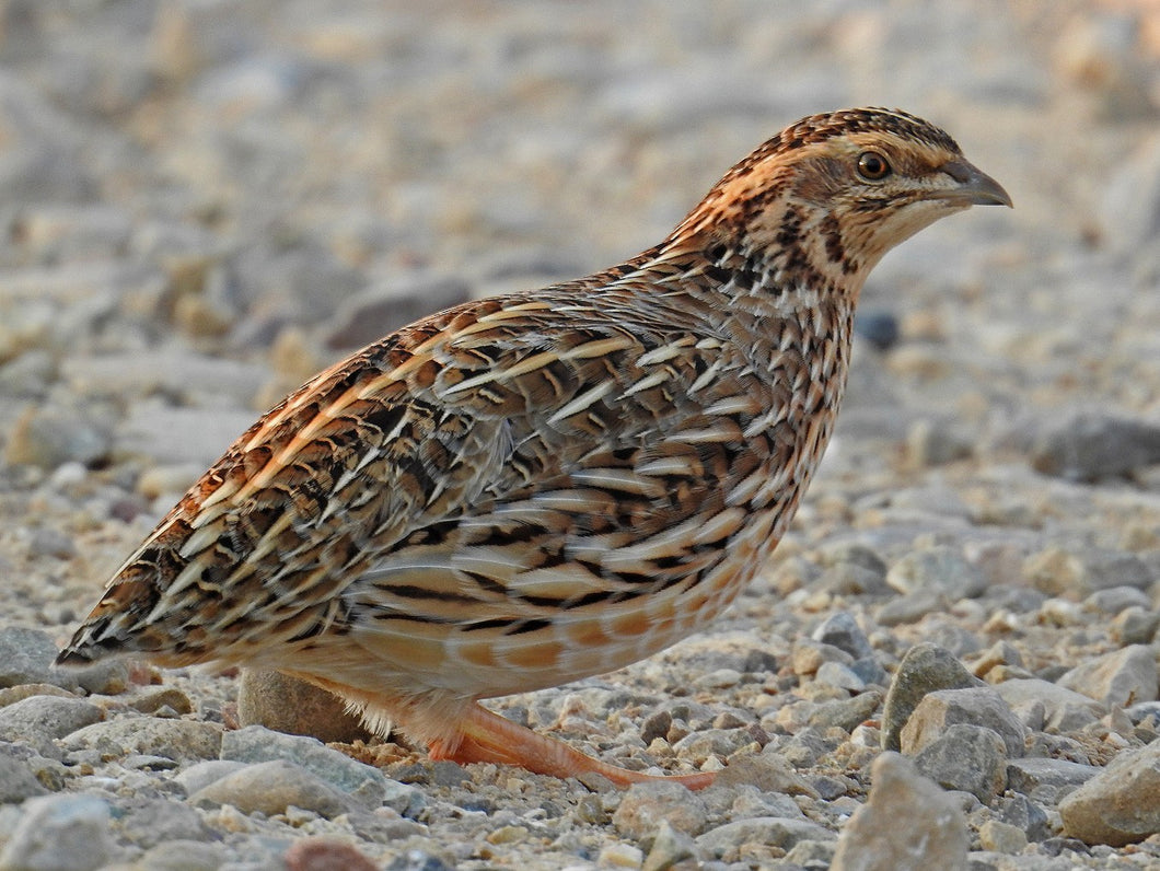 Jumbo Brown Quail Juvenile Birds (local pickup or delivery only)