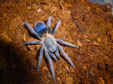 Load image into Gallery viewer, Pseudhapalopus sp 'Blue' (Columbian Blue Dwarf) 0.5""