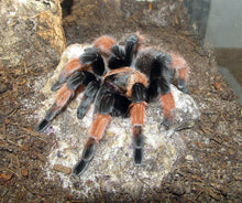 Load image into Gallery viewer, Brachypelma emilia (Mexican Red Leg) 1""